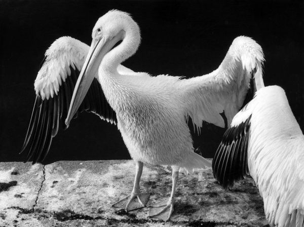 A pelican spreads its wings. Date: 1970s