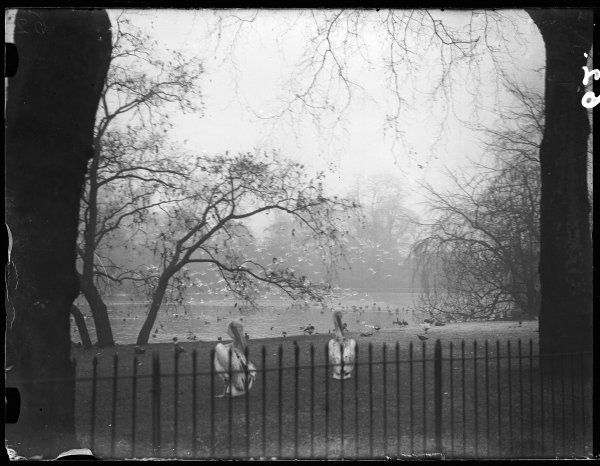 Pelicans and other birds in St. James's Park, central London