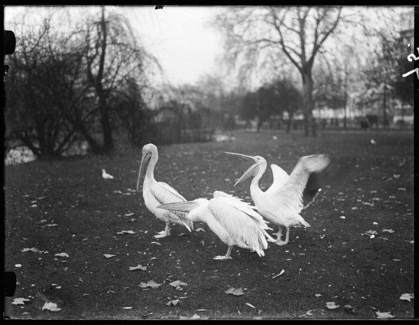Three Pelicans in St. James's Park, central London