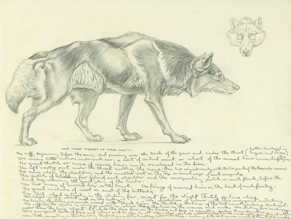 Pencil study of a wolf by Raymond Sheppard, with careful notes detailing 'the chief masses of hair' on the wolf's coat