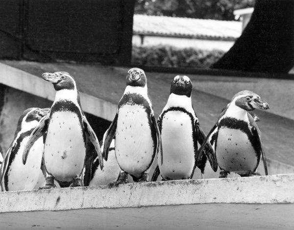 A group of penguins. Date: 1960s