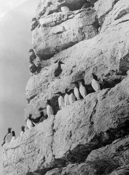 Penguins perched on a rock formation. Date: early 1930s