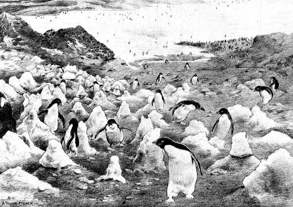 Illustration showing a large number of penguins climbing Cape Adare, as sketched by a member of the National Antarctic Expedition of 1901-4