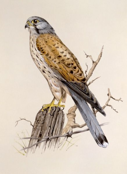 A Peregrine Falcon (Falco peregrinus) perched on a fence post, above some barbed wire. Painting by Malcolm Greensmith