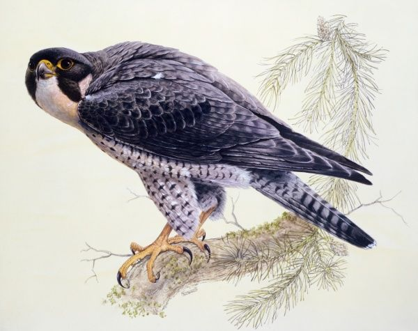A Peregrine Falcon (Falco peregrinus) perched on a branch. Painting by Malcolm Greensmith