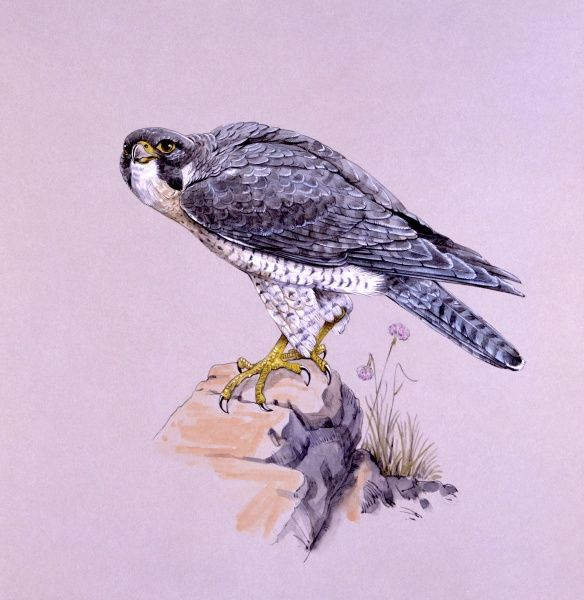 A Peregrine Falcon (Falco peregrinus) perched on a rock. Painting by Malcolm Greensmith