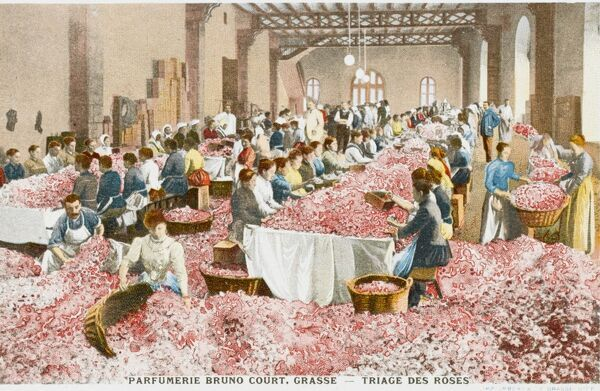 Perfumerie Bruno Court at Grasse, France. Sorting through roses at long benches. A vertitable riot of colour and aroma