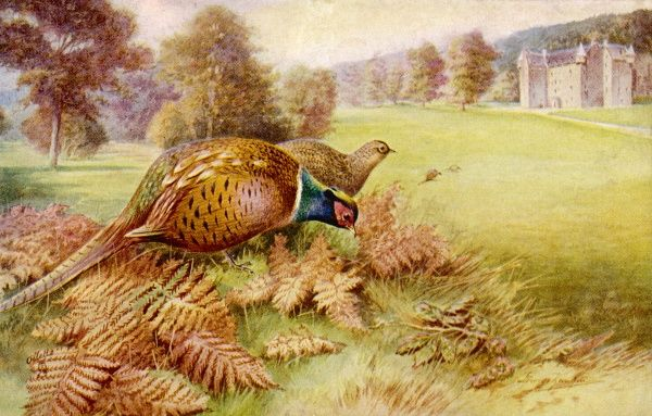 Pheasants feed safely in the grounds of a Scottish castle until 1 October, when the inhabitants will come out and kill them. (Phasianus colchicus)