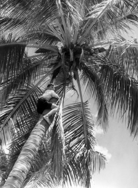 Young Queenslander seeks coconuts! In Townsville, Queensland, north Australia, the great coconut palms are luxurious rivals of their sisters of the South Seas. Date: 1930s