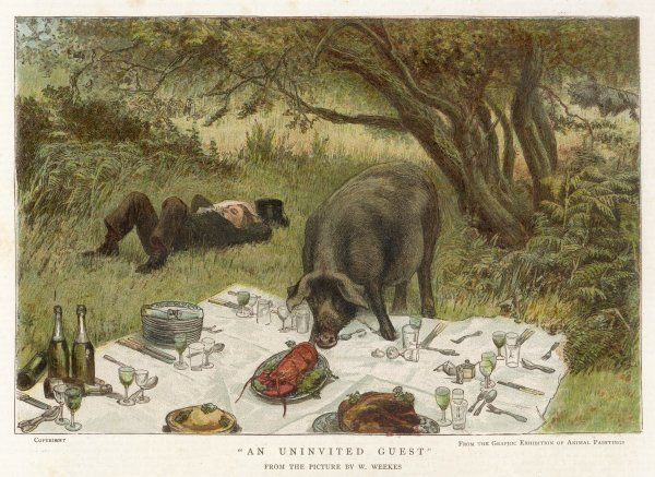 An uninvited guest makes rather a pig of himself at a picnic