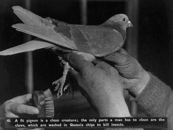 Pigeon hygiene -- the only parts requiring human intervention are the claws, which are washed in Quassia chips to kill insects.  circa 1940s