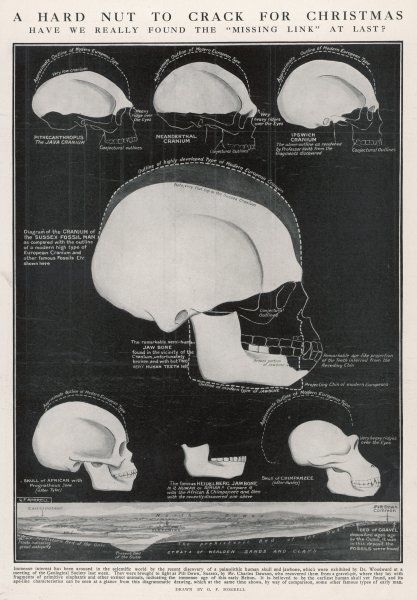 PILTDOWN MAN - a diagram of the cranium and jaw bone, claimed to be the missing link by Charles Dawson in 1912. The skull was proven to be a half- human, half-ape fake in 1953