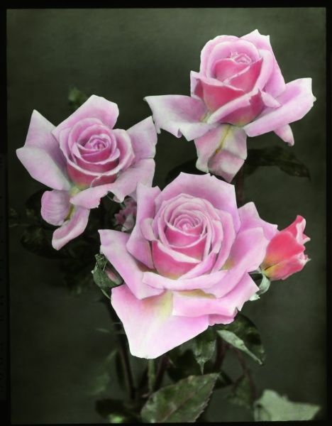 Three pink roses (Rosaceae family), seen here in close-up