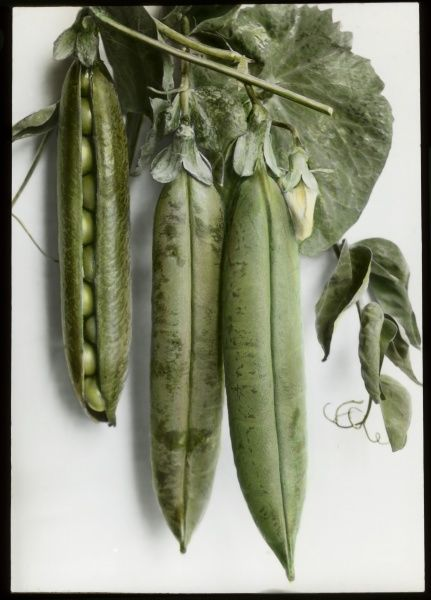 Pisum sativum (Pea) 'Pioneer', a vegetable of the Fabaceae family, showing three pods, with the left-hand pod partially open to reveal the peas inside