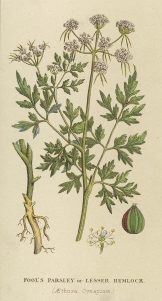 LESSER HEMLOCK, or FOOL'S PARSLEY