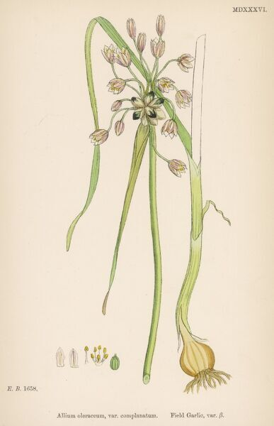 var. Complanatum FIELD GARLIC