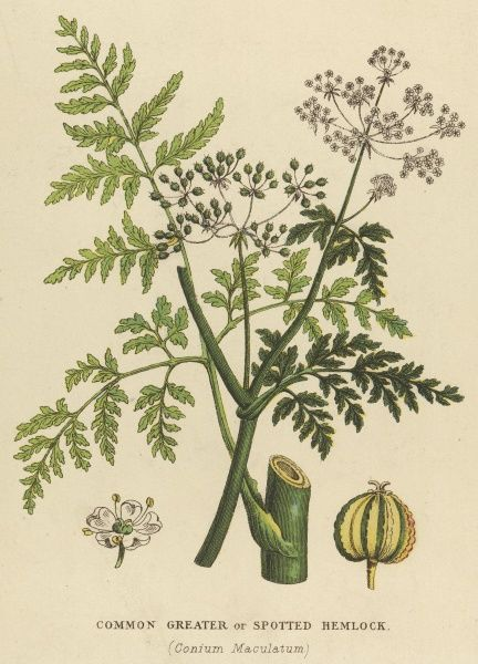 COMMON, GREATER or SPOTTED HEMLOCK