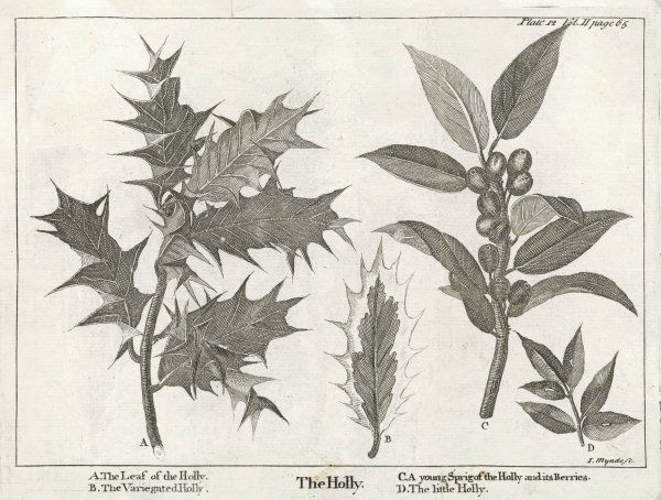 Different stages of growth and varieties of Holly