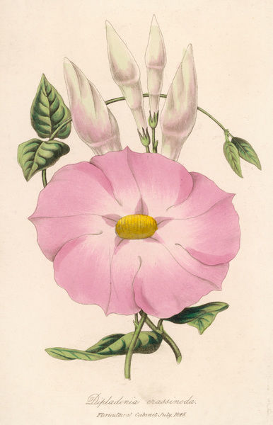 MANDEVILLA CRASSINODA or DIPLADENIA C