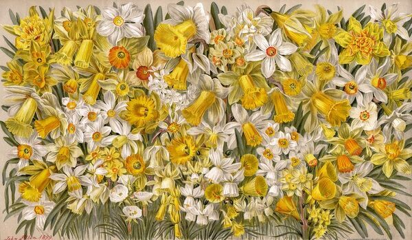Masses and masses of daffodils Date