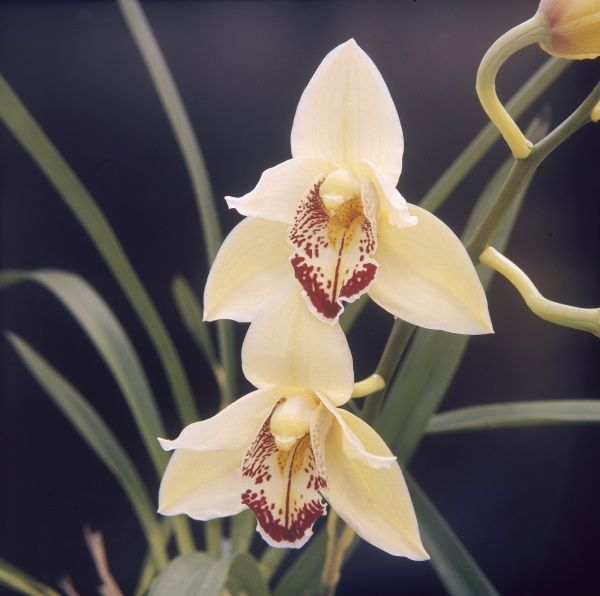 A lovely species of orchid (Orchis Cymbidium), at the annual Royal Horticultural Show, Wisley Gardens, Surrey, England. Date: 1970