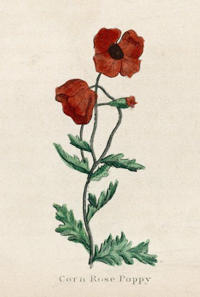 CORN POPPY, or CORN ROSE POPPY, or FIELD POPPY