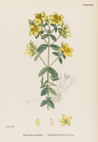 DOTTED LEAVED SAINT JOHN'S WORT