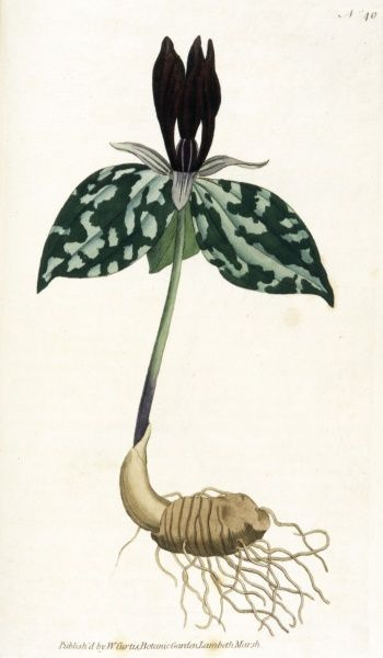 or T. SESSILE TRINITY FLOWER, or WAKE ROBIN, or WOOD LILY Date: 1796