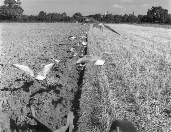 A good impression from a tractor, of gulls following the ploughed-up Autumn stubble, behind the plough, which uncovers grubs and insects for them to eat! Date: 1960s