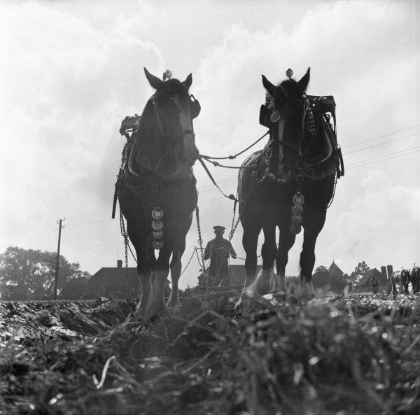 A ploughing Match at Wivelsfield, West Sessex, England. A farmer ploughs a field with the aid of two Shire horses