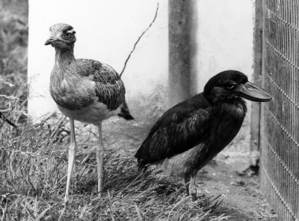 A Double Striped Thick Knee Plover and a Boat-billed Heron, at Chester Zoo, Cheshire, England. Date: 1960s