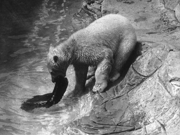 A polar bear plays with a car tyre in the water at the zoo. Date: 1957