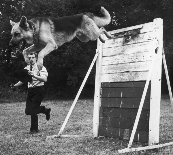 A German Shepherd police dog jumping a hurdle during a training session. Date: late 1960s