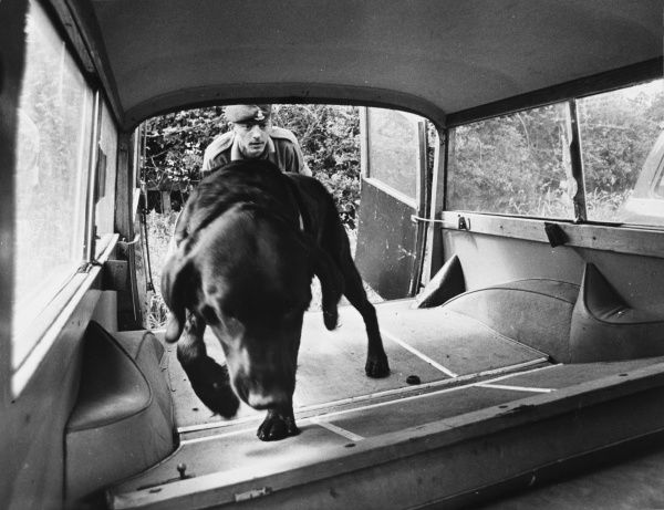 A police sniffer dog being trained to check inside a vehicle. Date: late 1960s