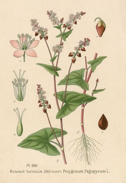 species of KNOTWEED French : renouee sarrazin, ou ble noir Date: 19th century