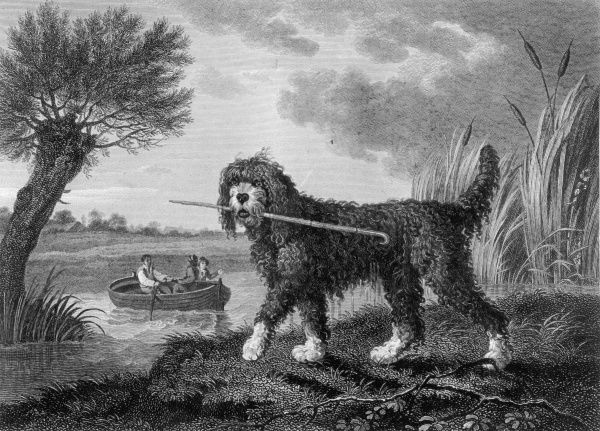 A fine old engraving showing the poodle as it used to be, a lively outdoor dog with a flair for retrieving from water