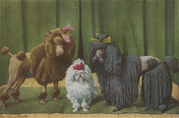 Three Poodles standing together, in front of a green curtain. One, a brown dog, with a Poodle Clip, the second a black, corded dog and a third a white Toy dog. Date: 1919