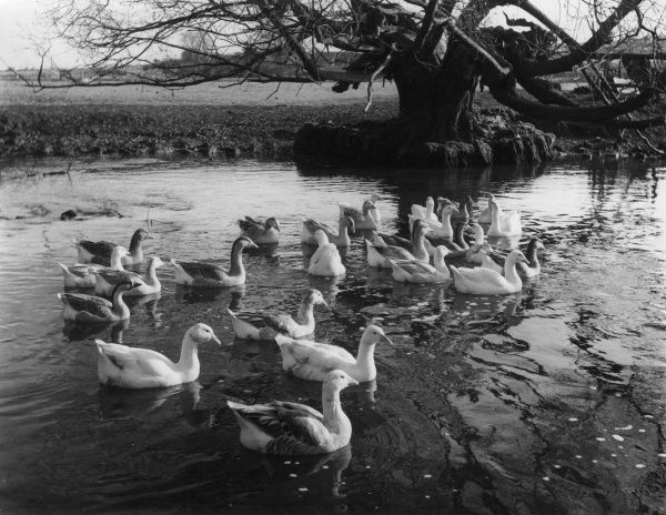 Geese on a mill pool, a scene in Northamptonshire, England. Date: 1960s