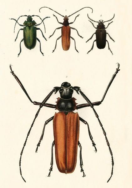 Prioninae, a subfamily of Cerambycidae (long-horned beetles). Date: 19th century