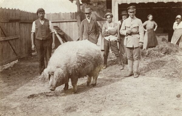 A truly splendid prize-winning hairy sow of major repute in this small Macedonian village. Date: circa 1910s