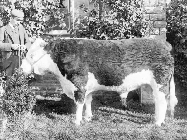 A prizewinning bull with the farmer on the left, in a garden in Mid Wales