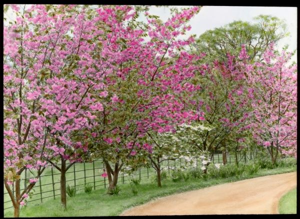 Prunus (Flowering Cherry Tree), several trees planted alongside a pathway, laden with pink blossom in different shades