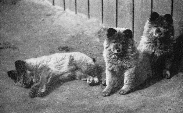 Three Chow or Chow-Chow puppies Date: 20th century