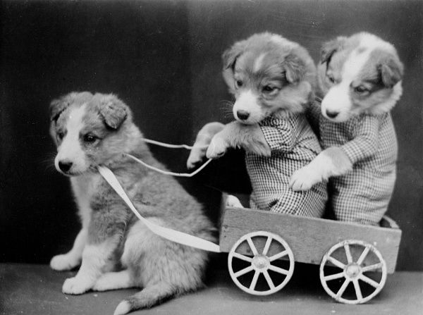 Three puppies, one of the pulling a cart whilst the other two ride in it! Date: early 1930s