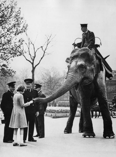 Princess Elizabeth feeding one of the elephants at London Zoo. Date: c.1940