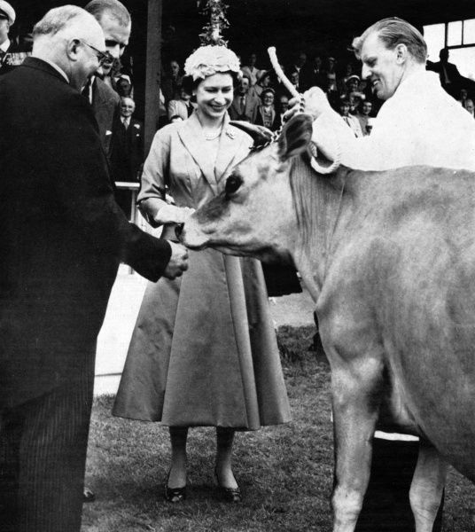 A gift for Queen Elizabeth II: Beauchamp Oxford Lady, a Jersey cow in calf, to add to her Jersey herd at Windsor. The gifting took place at the Springfield showground of the Royal Jersey Agricultural and Horticultural Society, 1957. Date: 1957