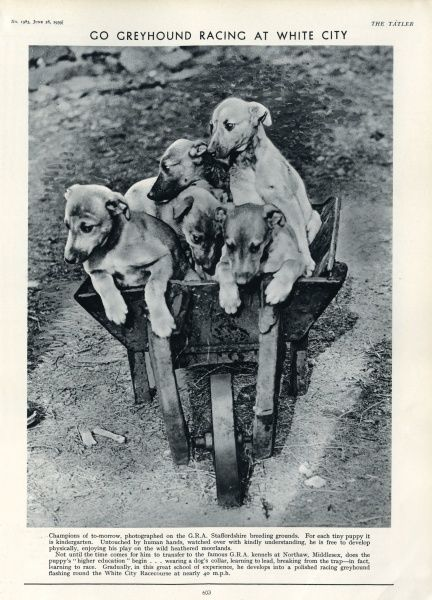 A wheelbarrow filled with racing greyhound pups at the G.R.A. Staffordshire breeding ground, prior to transfer to the kennels at Northaw, Middlesex. At Northaw, the process of training for dog racing at White City begins, including wearing a collar