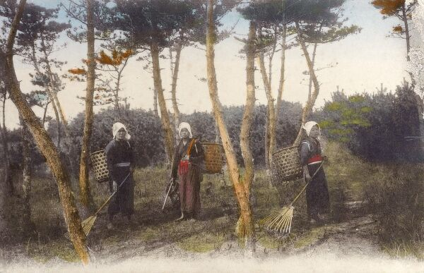 Women raking up and gathering fir cones into wicker backpacks Date: circa 1910s
