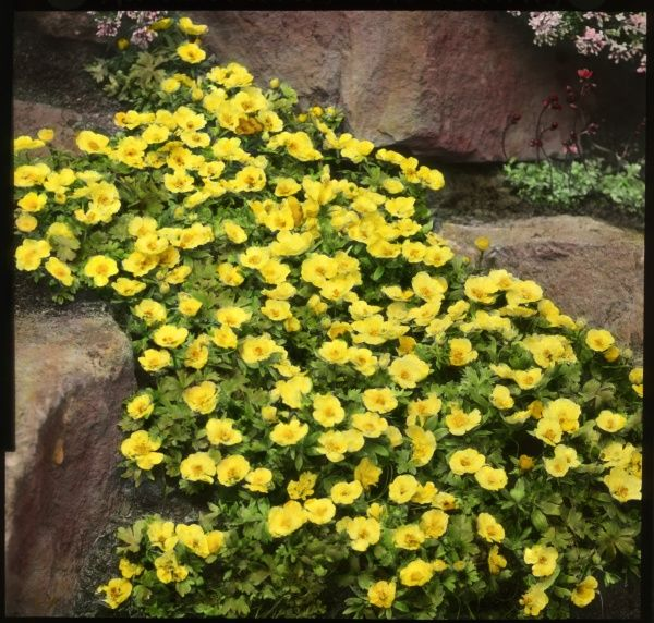Ranunculus Montanus (Molten Gold Montana or Mountain Buttercup), a perennial of the Ranunculaceae family with bright yellow flowers. Seen here growing in a rocky setting