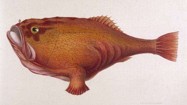 CHAUNAX PICTUS Red angler fish